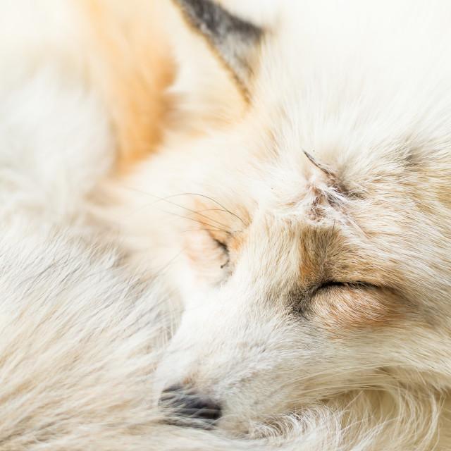 """Fox sleeping"" stock image"