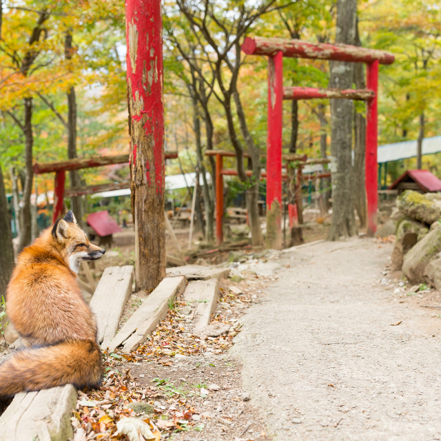 """""""Fox sitting infront of Japanese temple"""" stock image"""