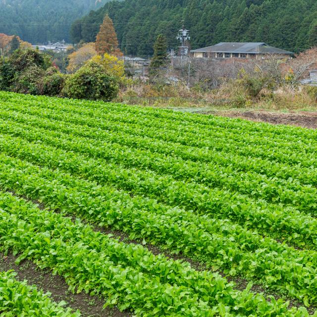 """""""Lettuce field"""" stock image"""