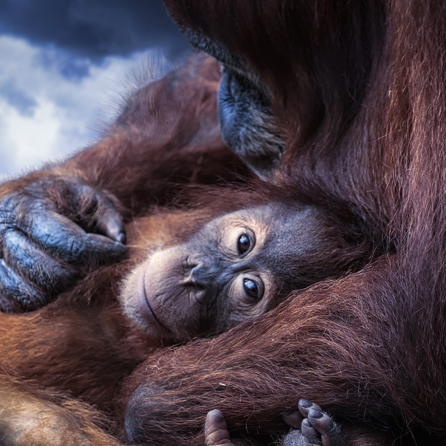 """Orangutan family"" stock image"