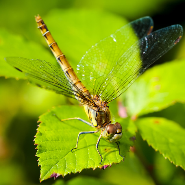 """""""Common Darter 1 15th August 2017"""" stock image"""