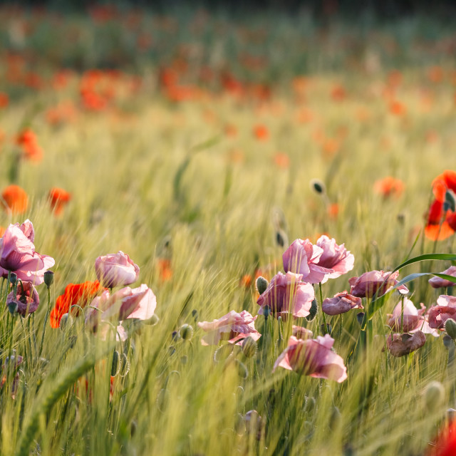 """""""Red & Purple Poppies"""" stock image"""