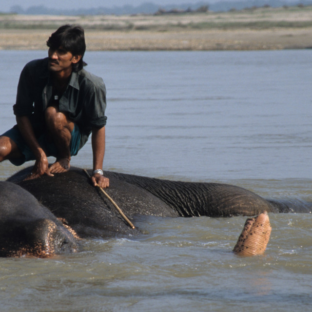 """A handler crouches as his elephant takes a bath in Chitwan National Park, Nepal"" stock image"