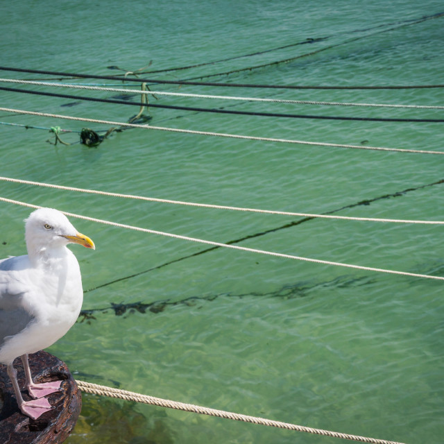 """Seagull in St Ives"" stock image"