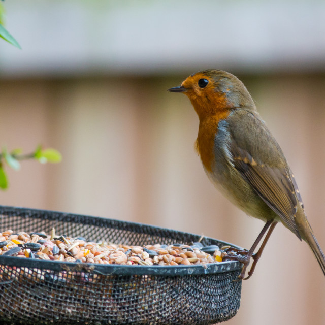 """Hungry Robin"" stock image"