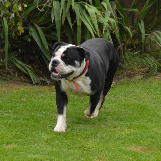"""""""English Bulldog Running"""" stock image"""