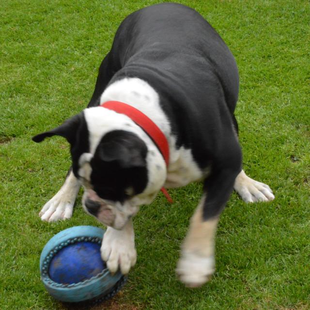 """English Bulldog Playing"" stock image"