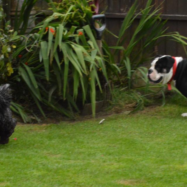 """English Bulldog and Friend Playing"" stock image"