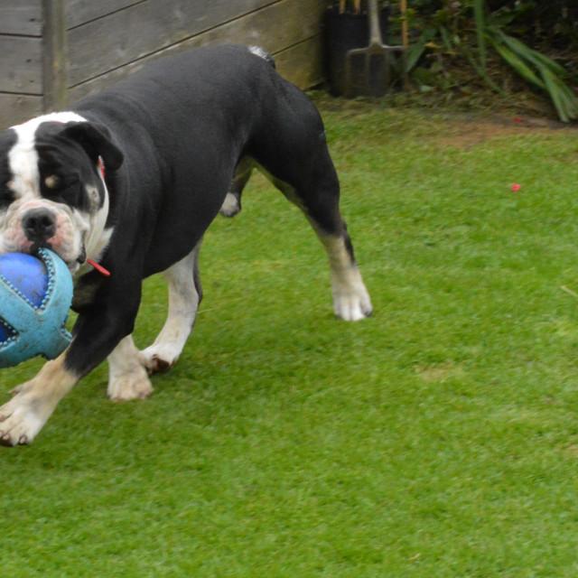 """English Bulldog Carrying a Blue Ball"" stock image"