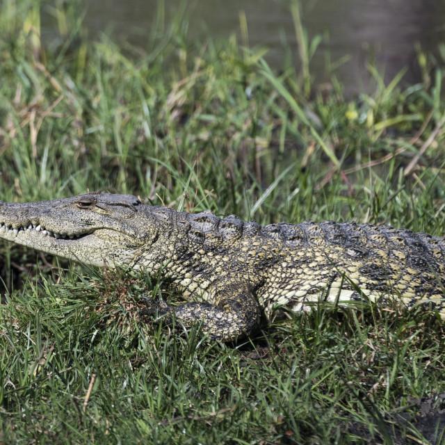 """A Nile crocodile, Crocodylus niloticus, on Khwai river bank, Okavango Delta,..."" stock image"