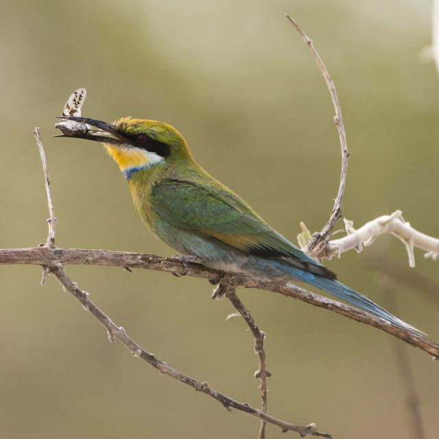 """A little bee-eater, Merops pusillus, holding a cicada in its beack, Savuti,..."" stock image"