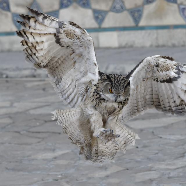 """""""Eagle owl (Bubo Bubo) in flight, Turkistan, South region, Kazakhstan"""" stock image"""