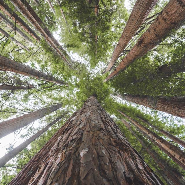"""""""Whakarewarewa Red Woods"""" stock image"""