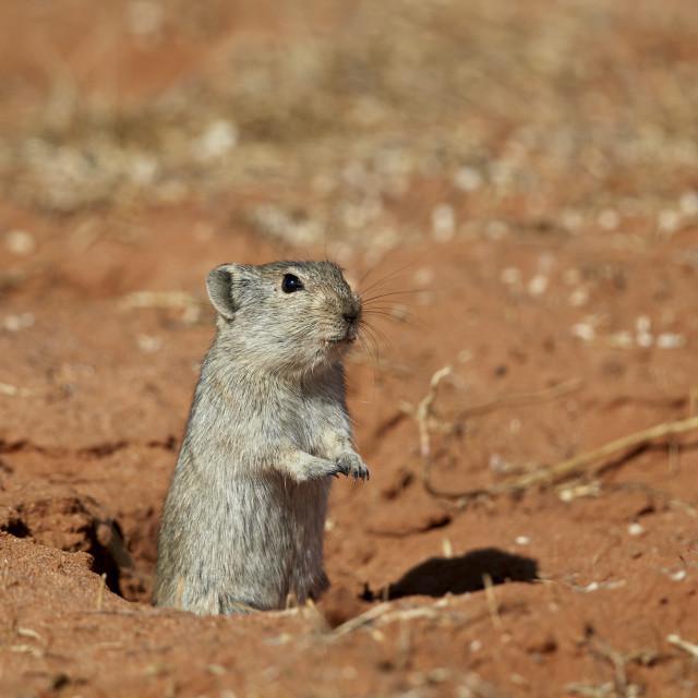 """Brant's Whistling Rat (Parotomys brantsii), Kgalagadi Transfrontier Park,..."" stock image"