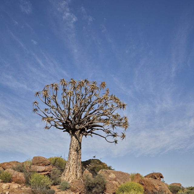 """Quiver Tree or Kokerboom (Aloe dichotoma), Namakwa, Namaqualand, South Africa"" stock image"