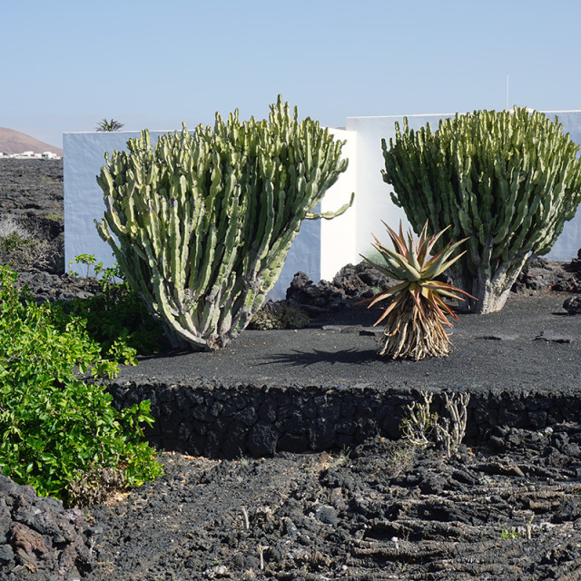 """Vegetation in Lanzarote"" stock image"