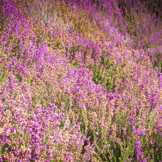 """""""Blooming Heather"""" stock image"""