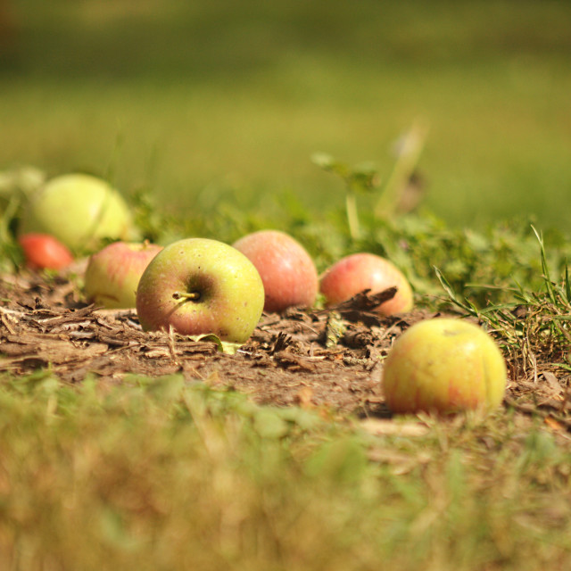 """Apples in nature"" stock image"