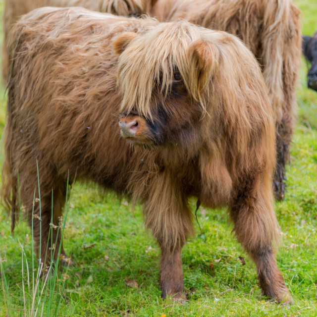 """Hairy cow calf on green pasture in Scotland"" stock image"