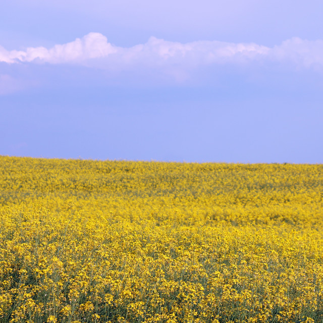 """oilseed rape field summer season"" stock image"