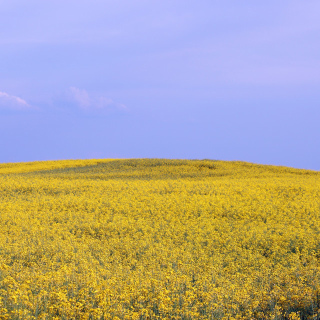 """oilseed rape field landscape summer season"" stock image"
