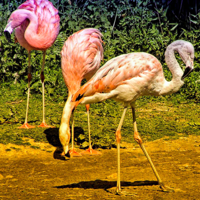 """Pink Flamingo"" stock image"