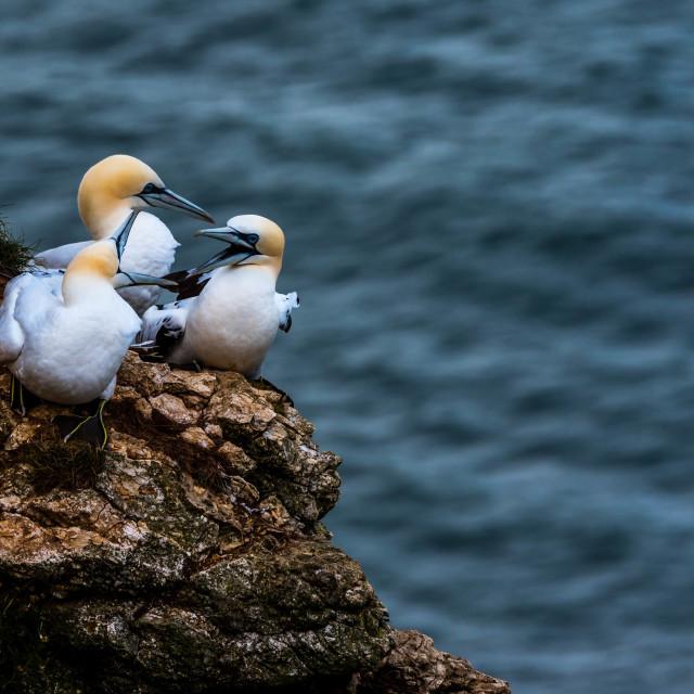 """Three gannets at Bempton cliffs,Yorkshire"" stock image"