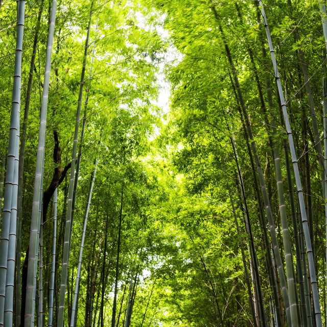 """bamboo forest for nature background"" stock image"