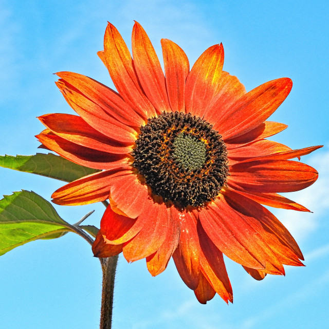 """Sunflower in the sky"" stock image"