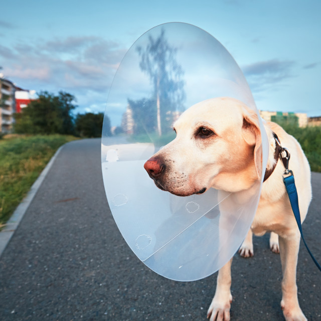 """Old dog after surgery"" stock image"
