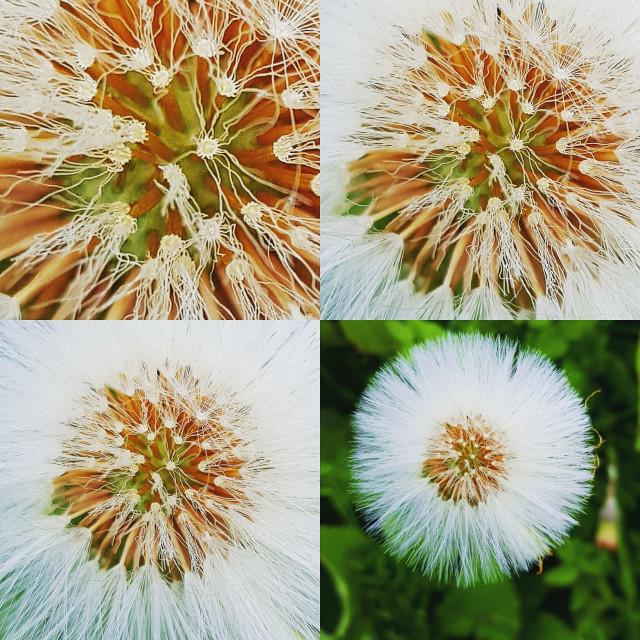 """Dandelion images"" stock image"
