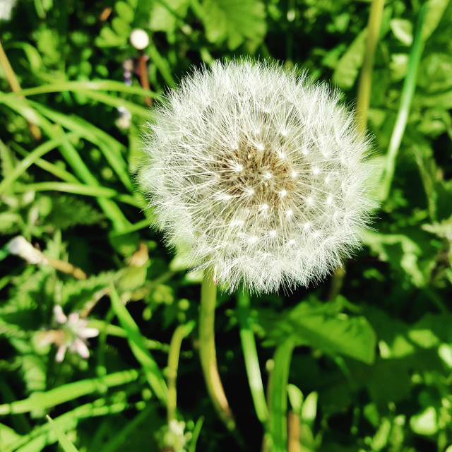 """Dandelion on green"" stock image"