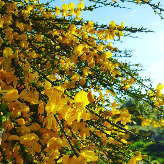 """Gorse bush"" stock image"