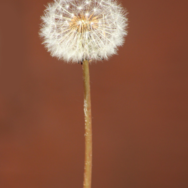 """Dandelion against red"" stock image"