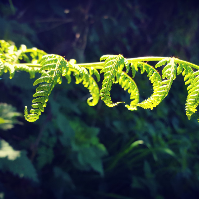 """""""Fern frond"""" stock image"""