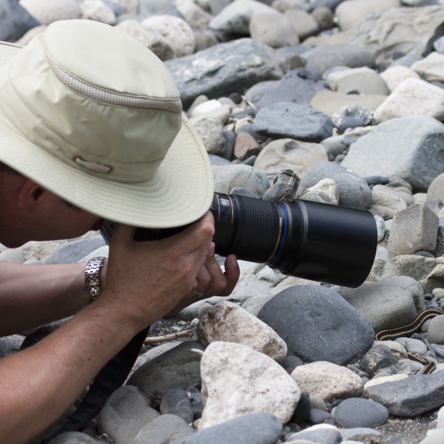 """Man Photographing A Small Garter Snake; Smithers, British Columbia, Canada"" stock image"