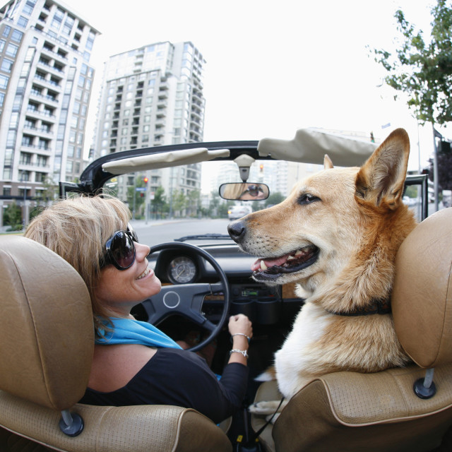 """""""A Woman Drives In Her Classic Volkswagen Convertible With The Top Down, With..."""" stock image"""