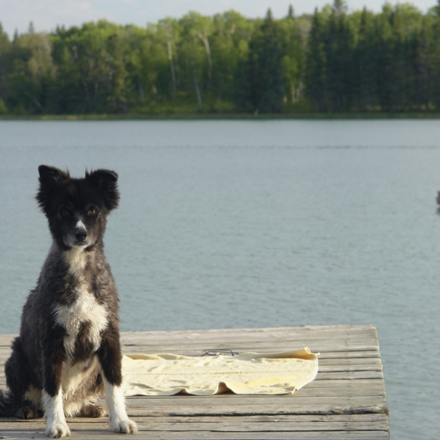 """Dog At Katherine Lake, Canada, Manitoba, Riding Mountain National Park. Motor..."" stock image"