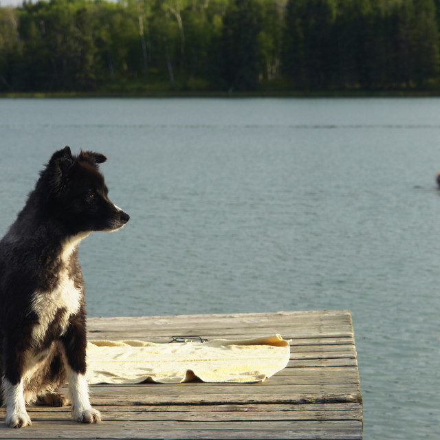 """Dog At Katherine Lake; Canada, Manitoba, Riding Mountain National Park. Motor..."" stock image"