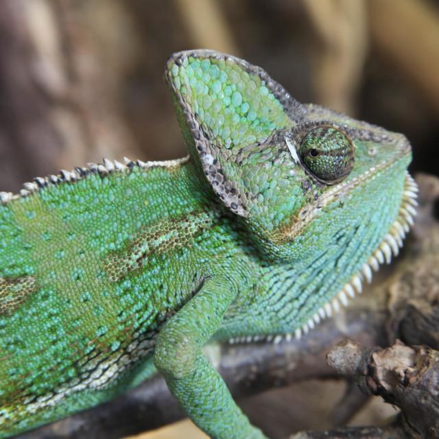 """""""Veiled Chameleon"""" stock image"""