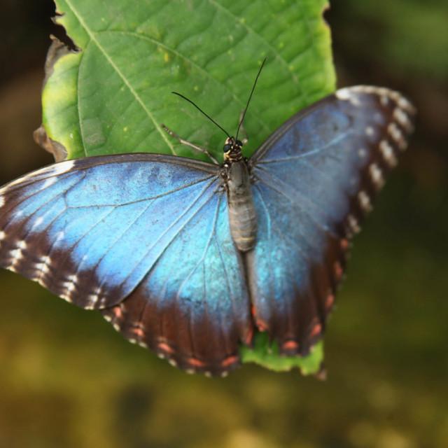 """""""Peleides Blue Morpho butterfly"""" stock image"""