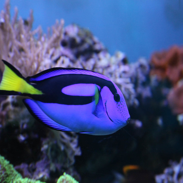 """Regal Tang Fish"" stock image"