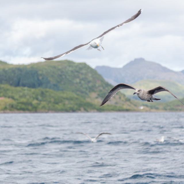 """""""Seagull flying on a fjord"""" stock image"""