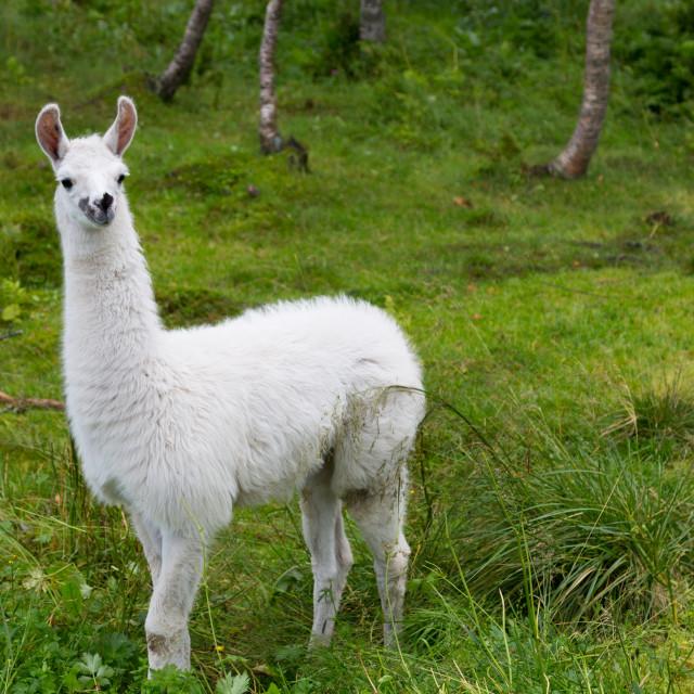 """Lama Glama small"" stock image"