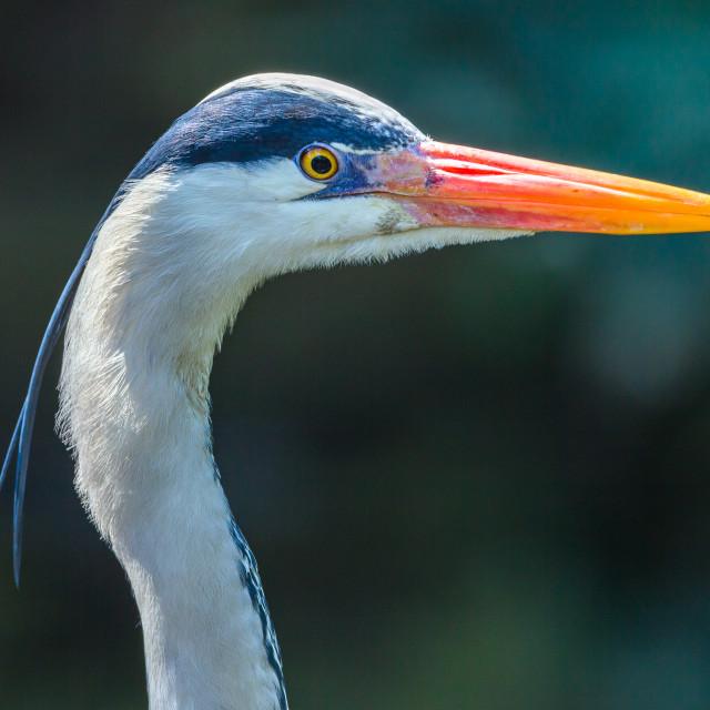 """Grey Heron Bird Head"" stock image"
