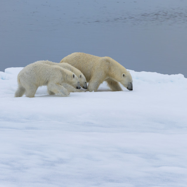 """Mother polar bear (Ursus maritimus) walking with two cubs on a melting ice..."" stock image"