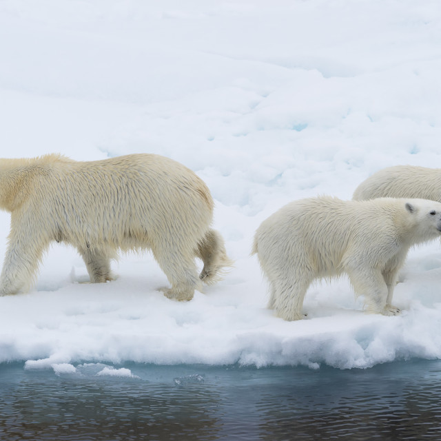 """Mother polar bear (Ursus maritimus) with 2 cubs on the edge of a melting ice..."" stock image"