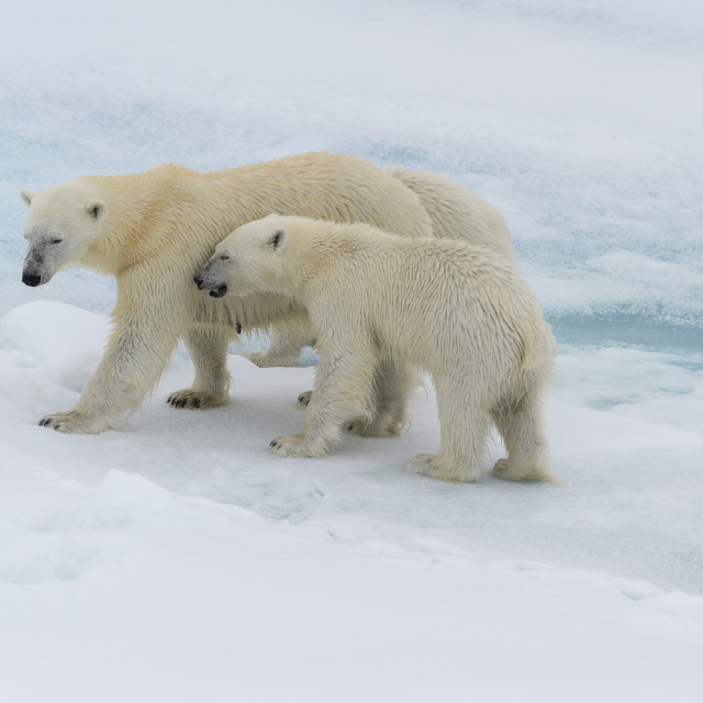 """Mother polar bear (Ursus maritimus) walking with a cub on a melting ice floe,..."" stock image"
