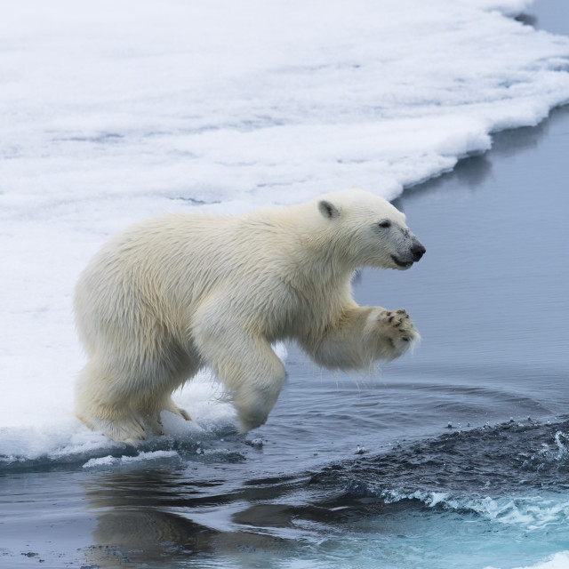 """Polar bear cub (Ursus maritimus) jumping over the water, Spitsbergen Island,..."" stock image"
