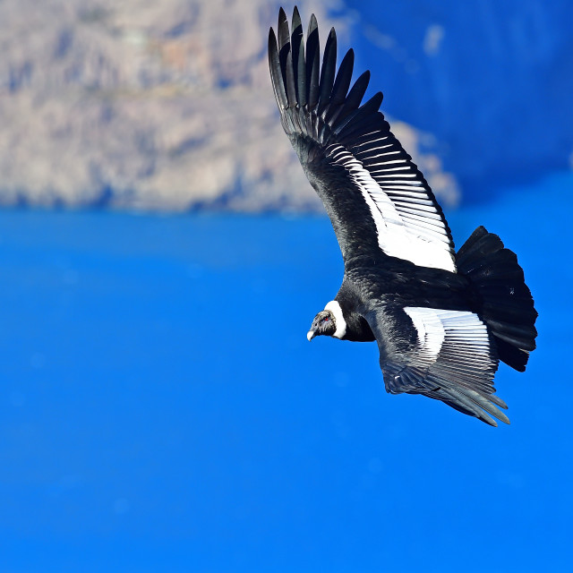 """Andean Condor, Vultur Grifus, Torres del Paine, Patagonia,nChile, South America"" stock image"